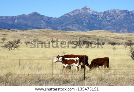 Hereford cattle graze in the open prairie - stock photo