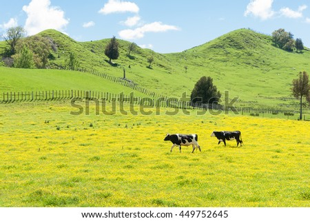 Hereford cattle grazing a field of yellow buttercup in front of green rolling hills.