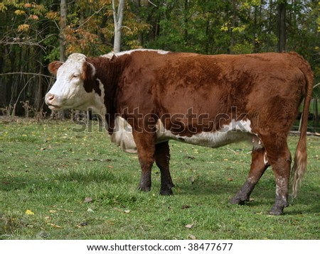 Hereford cow standing in a green pasture in early fall, the tree's are starting to turn. - stock photo