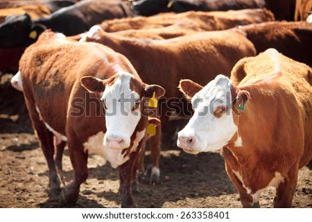 Hereford cows in a corral