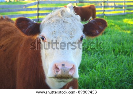 Hereford cows in the country