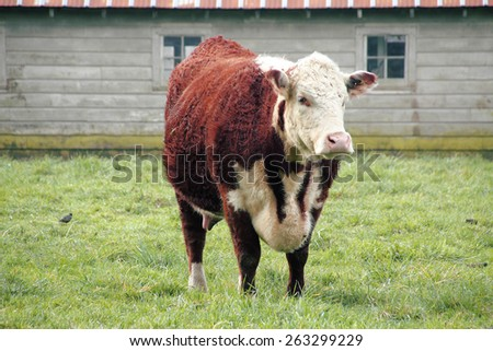 Hereford is a beef cattle breed, mainly raised for meat production/Hereford Cow/Hereford is a beef cattle breed, mainly raised for meat production. - stock photo