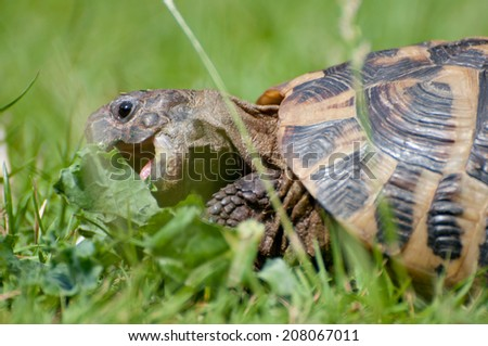 Herman's Tortoise open mouth - stock photo