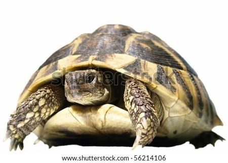 Herman's Tortoise turtle isolated on white background testudo hermanni - stock photo