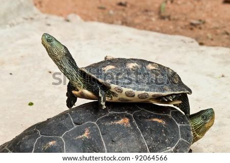 hermann's Tortoise - stock photo