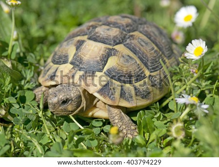Hermann's tortoise in grass in a day of spring - stock photo