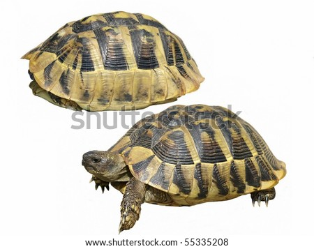 Hermann's Tortoise isolated on a white background - stock photo
