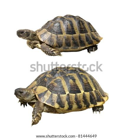 Hermann's Tortoise isolated on white background,  testudo hermanni - stock photo