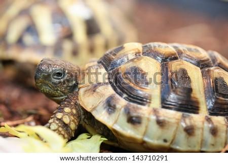 Hermann's tortoise (Testudo hermanni boettgeri) a standing protected species of turtle - stock photo