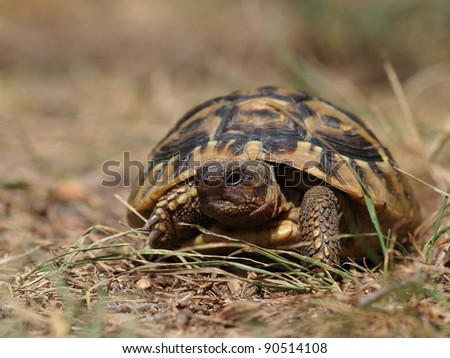 Hermann's Tortoise, turtle in grass - stock photo