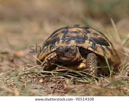 Hermann's Tortoise, turtle in grass - stock photo