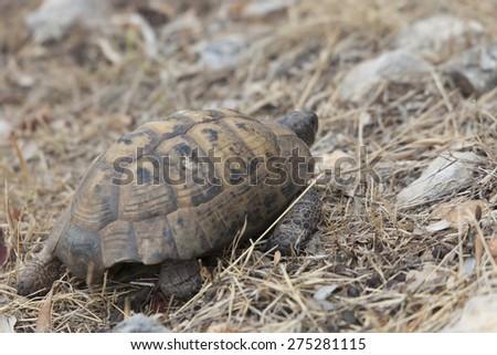 Hermann's Tortoise walking - Testudo hermanni boettgeri in Kas, Antalya Province, Turkey, Asia - stock photo