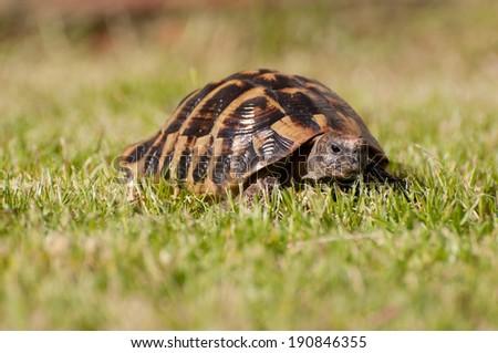 Hermans tortoise - stock photo