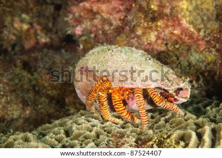 hermit crab - stock photo