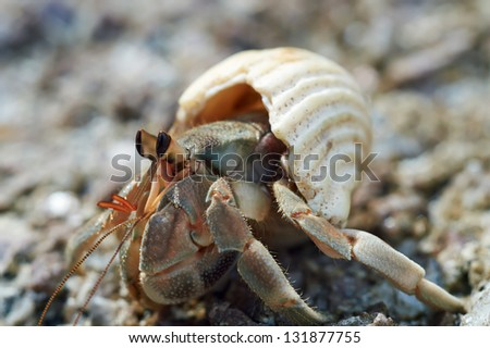Hermit crab close-up on a background of stone - stock photo