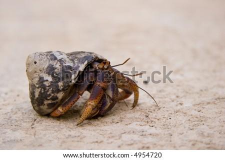 Hermit crab crawling along - stock photo