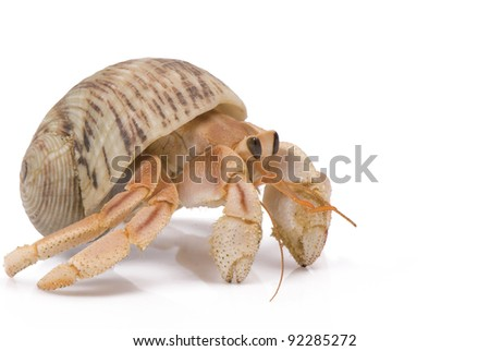 Hermit Crab crawling on white background - stock photo