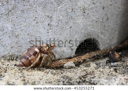 Hermit crab (Dardanus calidus) in the beach of Okinawa, Japan