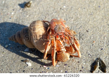 Hermit crab in its conch on the sand - stock photo
