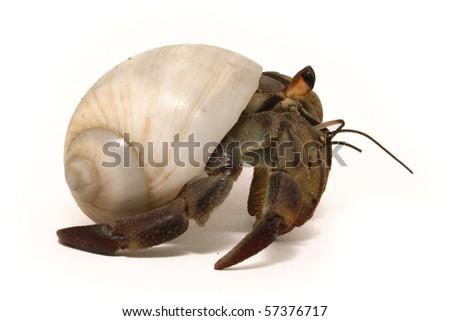 Hermit crab isolated on white - stock photo