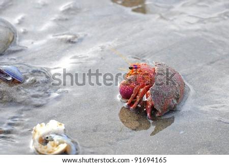 Hermit crab on sand beach - stock photo