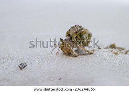 Hermit crab walking on the sand - stock photo