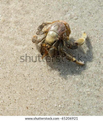 hermit search for the empty shell - stock photo