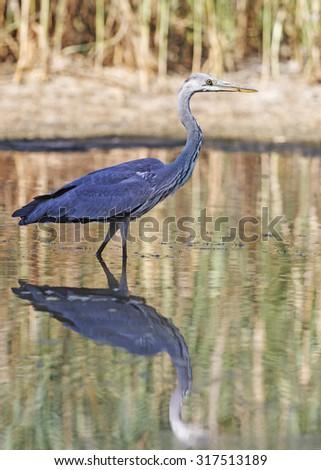 Heron and display/Grey heron - stock photo