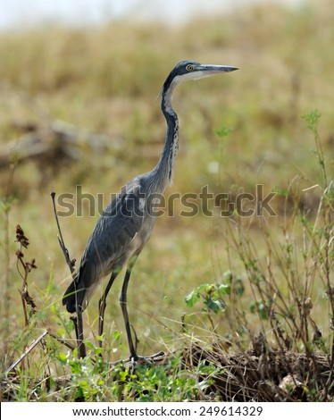 Heron (Ardea goliath) in nature  - stock photo