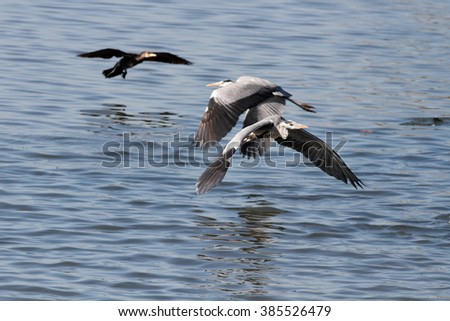 Heron flying over Douro river, north of Portugal, during fishing activity.
