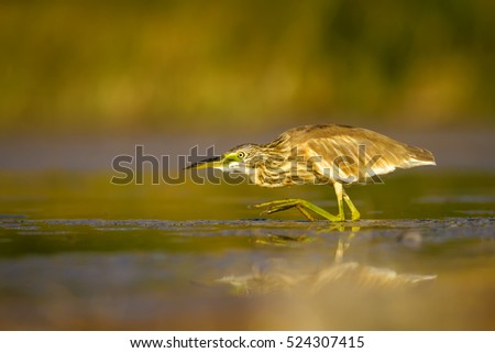 Heron hunting on yellow nature background Squacco Heron / Ardeola ralloides