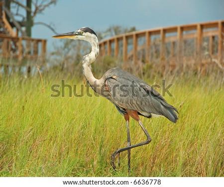 Heron in Marsh Grasses - stock photo