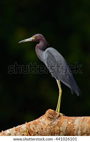 Heron sitting on the branch. Little Blue Heron, Egretta caerulea, in the waqter, eaqrly morning with, sun, dark blue sea, Rio Baru, Costa Rica. Heron with dark green forest at the background. - stock photo