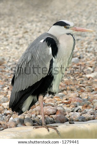 Heron standing upright - stock photo