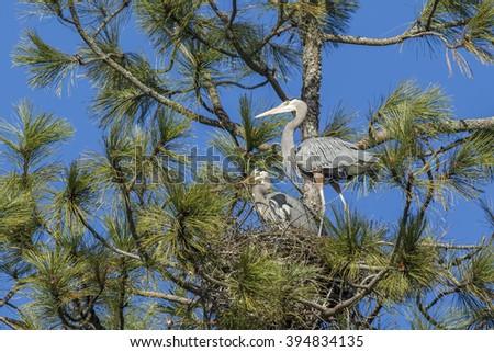 Heron watches other build nest near Fernan, Idaho. - stock photo