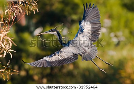 Heron with twig nest building