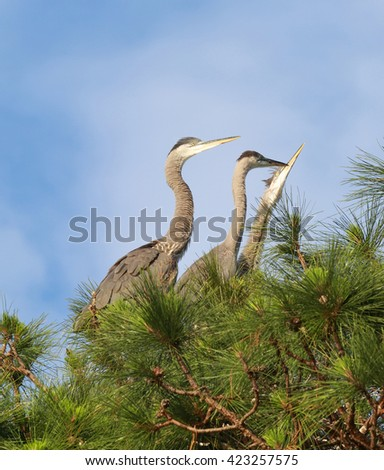 Herons in the nest - stock photo