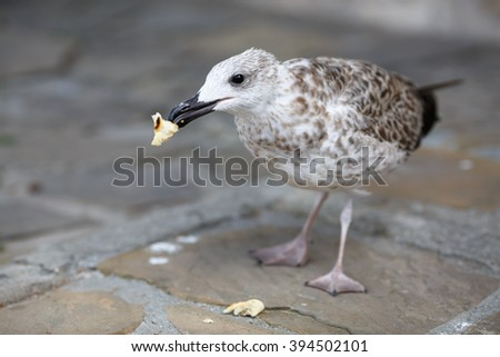 Herring Gull eats a piece of bread standing on the sidewalk. Shallow depth of field. Selective focus. - stock photo