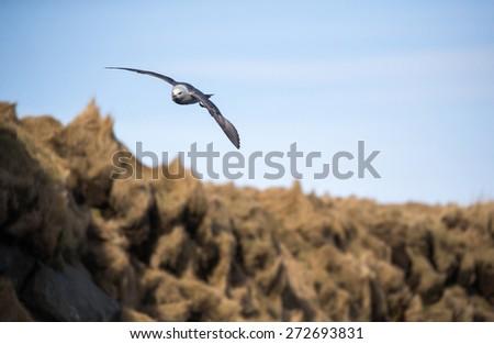herring gull in flight - stock photo