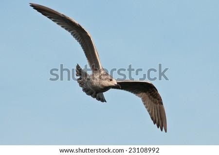 Herring Gull, Larus argentatus - stock photo