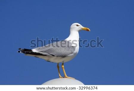 herring gull / Larus argentatus - stock photo