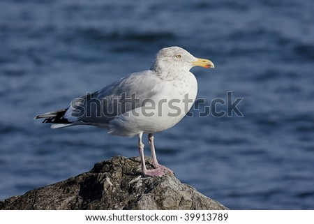 Herring Gull (Larus argentatus) standing on a rock by the Atlantic Ocean