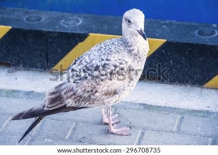 Herring gull, Larus fuscus L. - stock photo