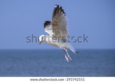 Herring gull, Larus fuscus L. flying - stock photo