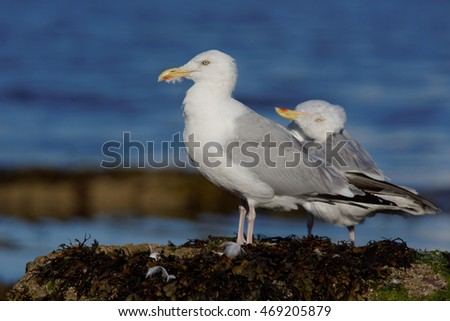 Herring Gull, Lesser black-backed gull, Sea  Gull