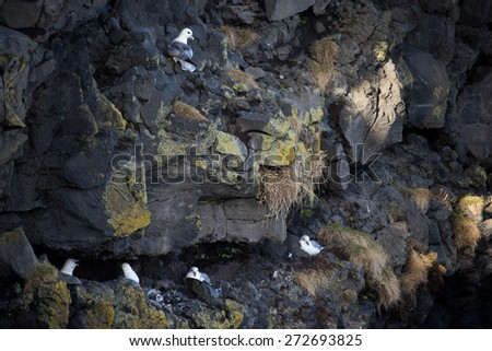 herring gulls nests on the cliffs off Dyrholaey, Iceland - stock photo