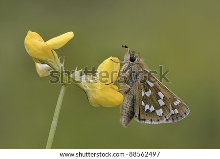 Hesperia comma butterfly or Silver-spotted Skipper butterfly drinking out of a yellow flower with soft light
