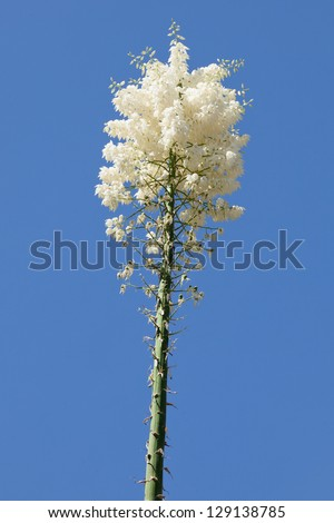 Hesperoyucca whipplei  is a species of flowering plant native to southern California