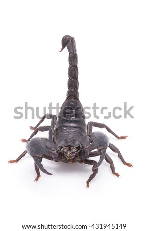 Heterometrus longimanus back scorpion.Emperor Scorpion, Pandinus imperator.scorpion isolate on white background - stock photo