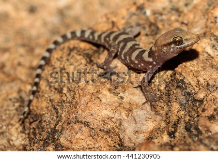 Heteronotia fasciolata is a species of gecko of the family Gekkonidae. - stock photo